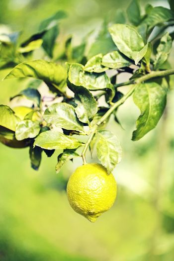 Lemon! Lemon Lime By Motorola Nature Colour Plants Outdoors Tree Sunlight