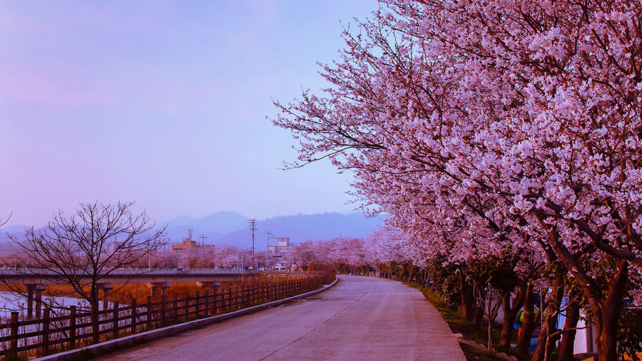 this spring blossom flower photo was taken at Naju park, South Korea. EyeEm Nature Lover EyeemSouthKorea Beauty In Nature Blossom Cherry Blossom Cherry Tree Diminishing Perspective Direction Eyeemherenow Flower Flowering Plant Freshness Growth Nature Outdoors Pink Color Plant Purple Road Sky Springtime The Way Forward Transportation Tree Treelined