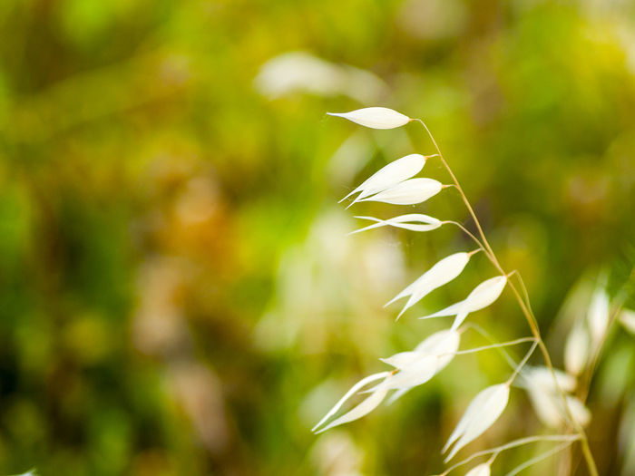 Avena Avena Fatua Background Backgrounds Bars Beauty In Nature Close-up Copy Space Environment Flora Floral Grass Minimalism Minimalist Nature Nature No People Oat Oats Oats Bars Space For Text Spring Springtime Summer