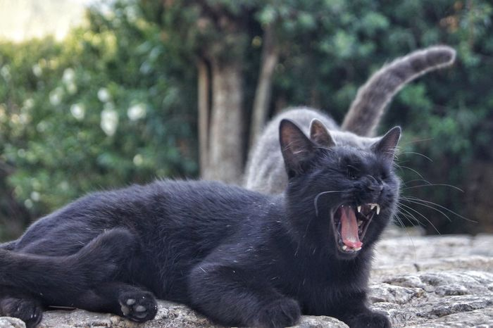 Black Cat Mallorca SPAIN Animal Animal Themes Cat Close-up Day Domestic Animals Domestic Cat Feline Mammal Mouth Open Nature No People One Animal Outdoors Pets Tooth Yawn Yawning Yawning Cat