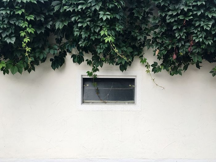 Small Window Below Creepers On Wall