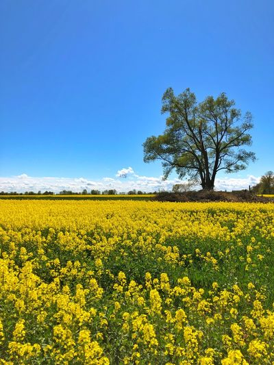 Field Colza Rapeseed Yellow Nature Sky Horizon Blue Beauty In Nature Plant Scenics - Nature Landscape Land Tranquil Scene Growth Tranquility Flower Environment Oilseed Rape Flowering Plant Agriculture Rural Scene Crop  No People Outdoors Springtime