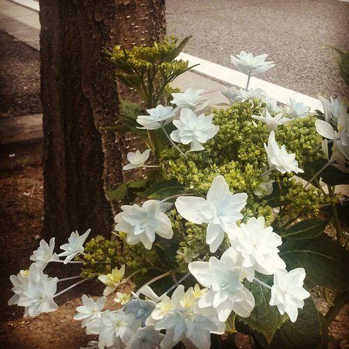 枯れない紫陽花 Hydrangea 绣球 수국 гортензия الكوبيةكوبمياه