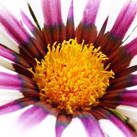 Flower Petal Fragility Beauty In Nature Flower Head Freshness Nature Pollen Growth Close-up No People Purple Selective Focus Blooming Backgrounds Day Gazania Stamen Full Frame Plant