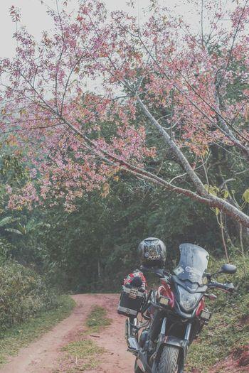 Sakura if Thailand. First Eyeem Photo