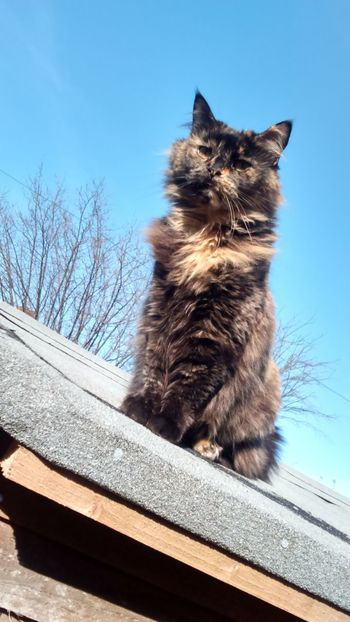 Sitting Pretty Sitting Straight My Cat Pretty Cat Beautiful Cat Beautiful Sky Blue Sky Cat On The Roof Cat On A Roof Cats In Random Places Mainecoon Maine Coon Feline Cats Cat Caturday Happy Caturday Precious Focused Tree Cat Lovers Cats Of EyeEm On Top Of The World On Top Blue Wave
