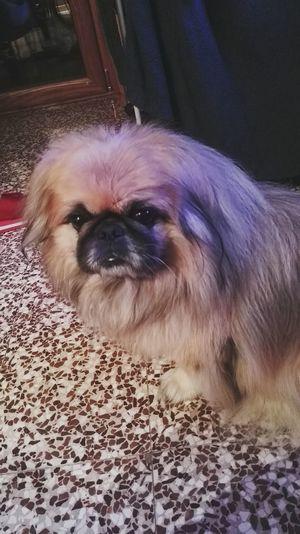Dog Pechinese Pechinesedog