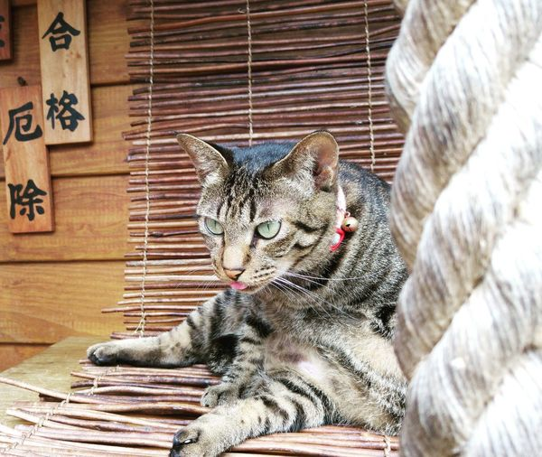 Cat Close-up Day Domestic Animals Domestic Cat Feline Focus On Foreground Mammal No People Pets Portrait Relaxation Resting Whisker Wood - Material 猴硐 猴硐貓村