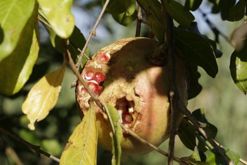 Fascinating to see the Pomegranate fruits on the trees. Some eaten by birds, the seeds shine in the sun. Double Exposure Food And Drink Green Pomegranate ❤ Close-up Day Flora Food Food Porn Fruit, Fruitporn Growth Leaf Nature No People Outdoors Plant Pomegranate Pomegranate Fruit Pomegranate Tree Punica Granatum Tree