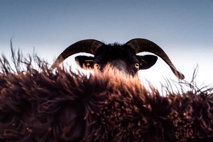Sheep Herbivorous Cattle Portrait Animal Head  Clear Sky Looking At Camera Close-up Low Angle View Domestic Pets Domestic Animals Horned Animal Body Part Sky One Animal Mammal Nature No People Vertebrate Animal Animal Themes Selective Focus Livestock Copy Space Day Animal Head