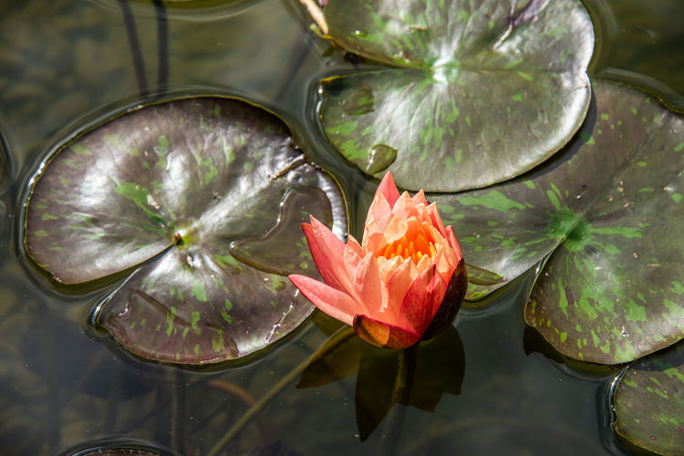 Beauty In Nature Close-up Floating Floating On Water Flower Flower Head Flowering Plant Fragility Freshness Growth Inflorescence Leaf Nature No People Outdoors Petal Plant Plant Part Pollen Pond Vulnerability  Water Water Lily
