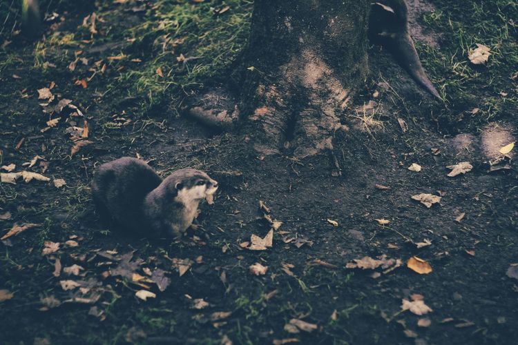 Animal Themes Autumn Change Day Domestic Animals Field Leaf Leaves Looking At Camera Mammal Messy Natural Condition Nature No People Non-urban Scene One Animal Outdoors Tranquility Tree Trunk Zoology