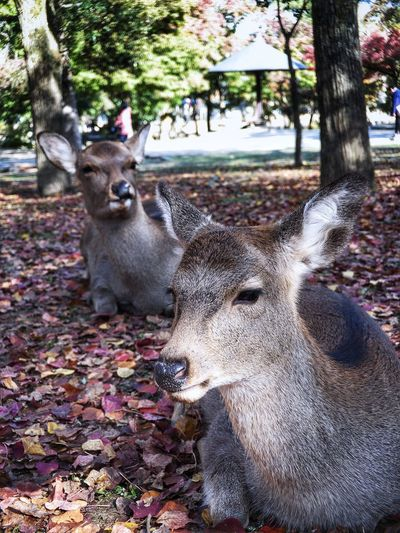 Wild deer at Nara park Japan Nara Deer Park Animal Themes Mammal Animal One Animal Tree Vertebrate Plant Nature Day Animals In The Wild Domestic Animals Animal Wildlife