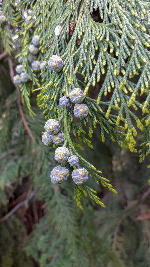 Purple Pine