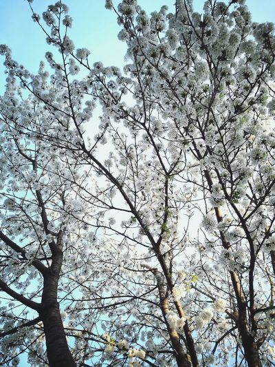 Tree Nature Growth Sky Spring Cherry Tree Flowers