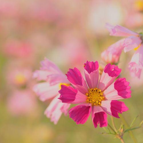 シーシェル コスモス Cosmos EyeEm Nature Lover EyeEm Best Shots - Nature EyeEm Flower Eyem Nature Lovers