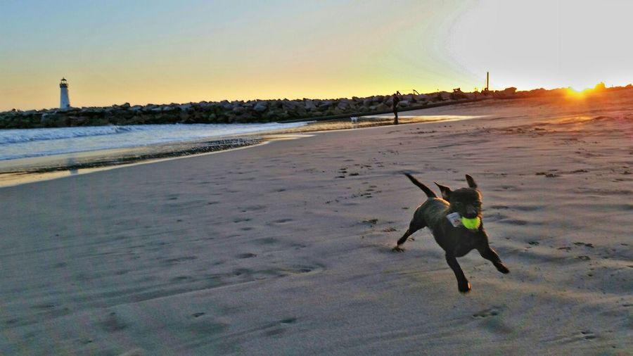 LuLu playing with a ball at the beach Happy Dog Beach Photography Playing In The Sand Sunset Santa Cruz California Dogoftheday Beachdog Dogs Dogslife