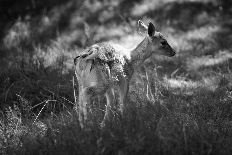 Deer On Grassland