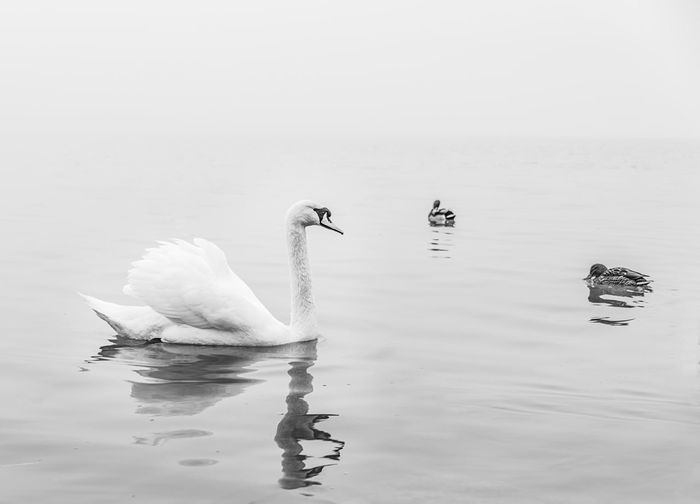 Swan and