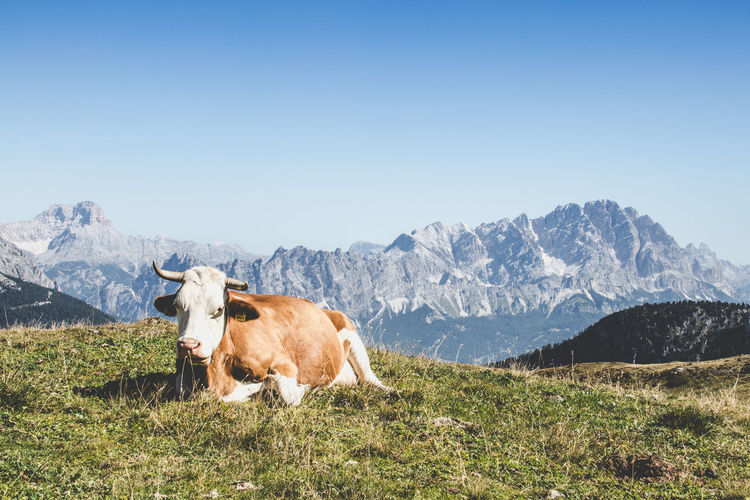 Cow standing in a mountain against clear sky
