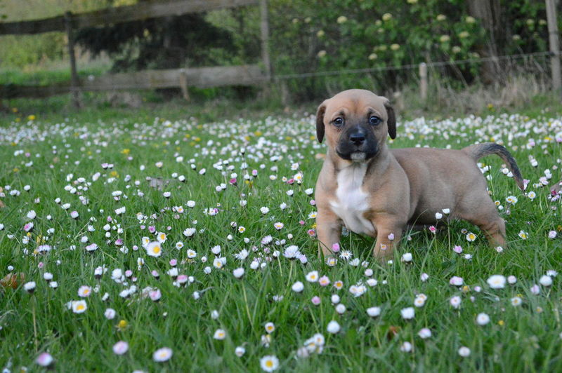 5 Weeks Old Animal Themes Day Dog Domestic Animals Engelse Bulldo Flower Grass Kruising Engelse Bulldo Nature No People One Animal Pets Puppy