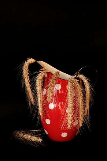Close-up of wheat plants in red jug against black background