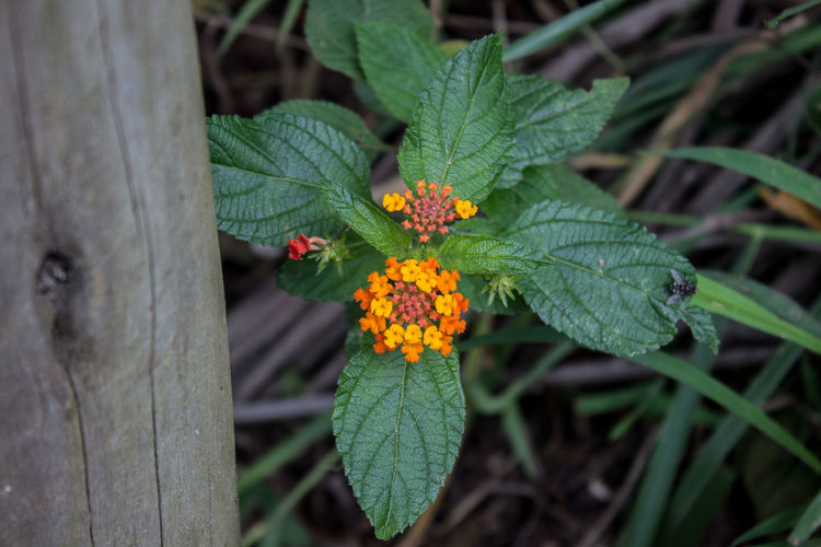 Beauty In Nature Blooming Blossom Botany Butterfly Close-up Day Flower Flower Head Focus On Foreground Fragility Freshness Green Color Growth In Bloom Lantana Leaf Nature Orange Color Outdoors Petal Plant Single Flower Springtime Yellow