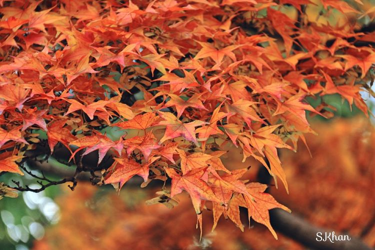 Autumn Change Leaf Nature Orange Color Beauty In Nature Maple Leaf Tree Growth Close-up Outdoors No People Leaves Day Maple