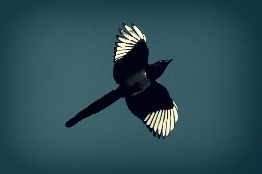 Magpie in UK looking radiant and beautiful on a fresh clear spring morning. Good morning Mr Magpie !! Beauty In Nature Bird Photography Birds Of EyeEm  Blackandwhite Blue Blue Wave Flying Freedom Low Angle View Magpie Mid-air Motion Nature Nature Nature On Your Doorstep No People Outdoors Perfect Perfection Sky Spread Wings Things I Like Vignette Wing Wings