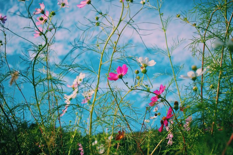 Cosmos Flowers. Spring Autumn Cosmos Flower Autumn Cosmos Cosmos Flower Creativity Travel Destinations Nature Photography Power In Nature Naturelovers Plant Growth Nature Beauty In Nature Flower Flowering Plant Day Sky Low Angle View Freshness No People Tree Tranquility Outdoors Sunlight Green Color Blue Cloud - Sky Multi Colored Vulnerability