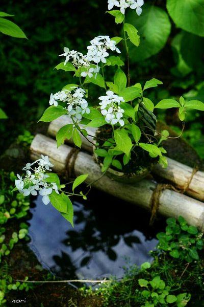 大雨はとりあえず小康状態…もういいよf(^_^; あじさい 紫陽花2015Photo Hydrangea リフレふぇち Reflection Water Reflections Reflection_collection Flower Collection Beautiful Flower Kagoshima