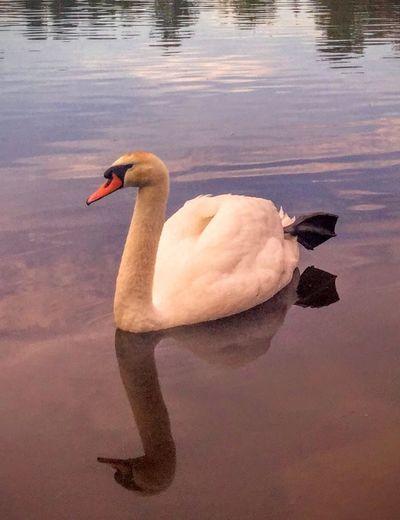 'Mr. Kings Acting Weird' #Territorial #Royalty #PondLife #Pond #ProtectingFierce #FamilyGuy #Oslostreets #Summer2016 #KariJosefiné LifeAtThePond