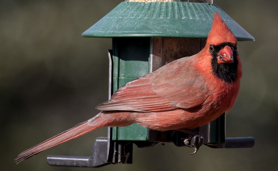 Feeding time Red Bird Animal Themes Animal Wildlife Animals In The Wild Bird Bird Feeder Close-up Day Nature No People Northern Cardinal Male One Animal Outdoors Perching Red Red Feather