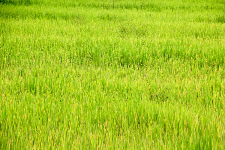 Agriculture Backgrounds Beauty In Nature Cereal Plant Day Field Freshness Full Frame Grass Grass Area Green Color Growth Lush Foliage Meadow Nature No People Outdoors Plant Playing Field Rice - Cereal Plant Rice Paddy Rural Scene Scenics Soccer Field Wheat