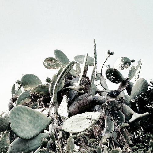 Opuntia Ficus Indica Chumbera Vegetation Nature Pattern Calahonda Sendalitoralmijas