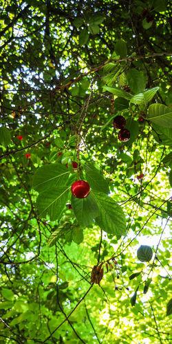 cherry tree Red