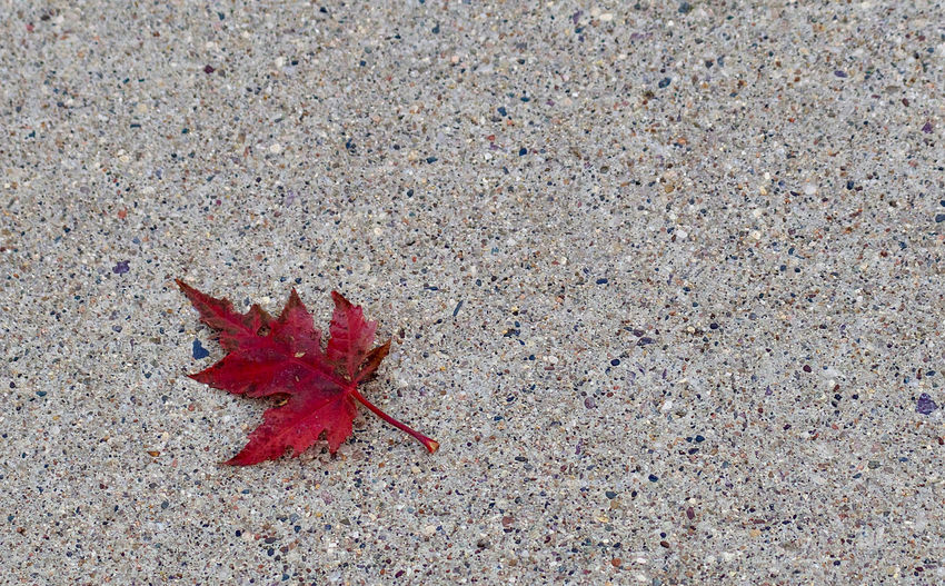 High angle view of maple leaf