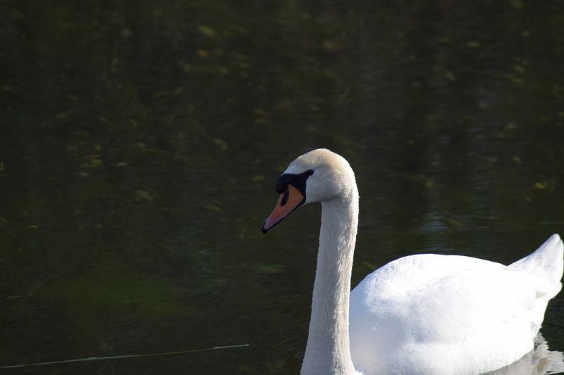 Schwanenfamilie Sonnenschein  Day Nature No People Outdoors Teich Winter Wonderland