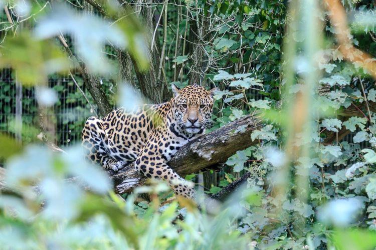 Animal Themes Animal Animal Wildlife Big Cat Animals In The Wild One Animal Leopard Tree Nature