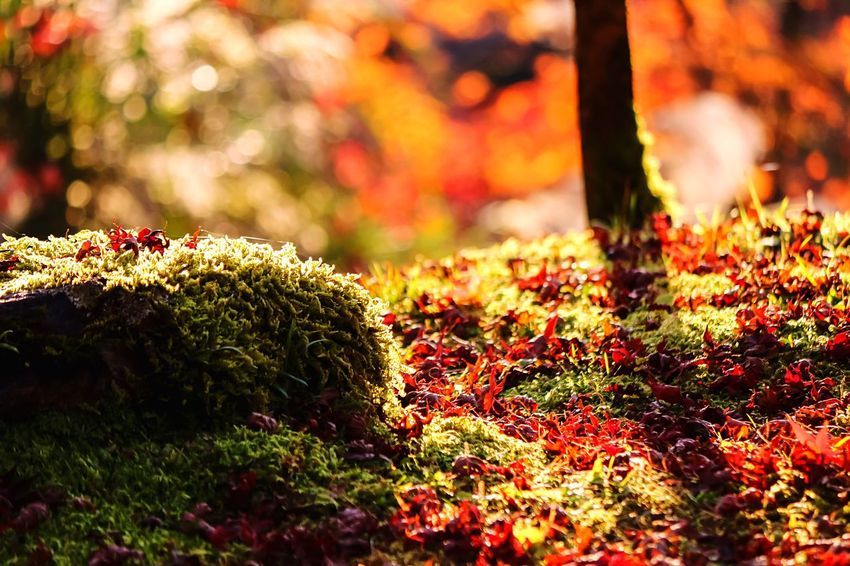 Mossporn Beautiful Moss Moss & Lichen Moss EyeEm Best Edits EyeEm Nature Lover From My Point Of View Beautiful Nature RedMapleLeaf Nature Maple Leaf Maple Leaves MapleLeaves Mossyforest Moss-covered Mossy Garden Green Moss Mossy Maple Light And Shadow Leaves Carpet Miss Carpet Japanese Maple Creative Light And Shadow