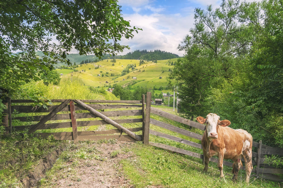 Cute cow waiting in front of an aged wooden gate and fence, surrounded by green summer nature and alpine scenery, in Sadova, Romania. Carpathian Nature Carpathians Farm Animals Cattle Countryside Cow Domestic Animals Field Grass Landscape Livestock Mammal Nature No People Pasture Rural Scene Spring Summer