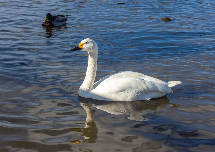 Water Swimming Water Bird Swan Lake No People Bewick Swan Bird White Color Rippled Day