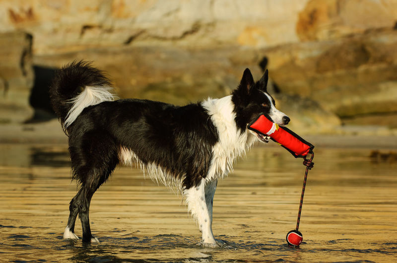 Border Collie dog Border Collie Animal Animal Themes Beach Black And White Border Collie Bumper Canine Dog Domestic No People One Animal Outdoors Pet Pets Purebred Dog Toy