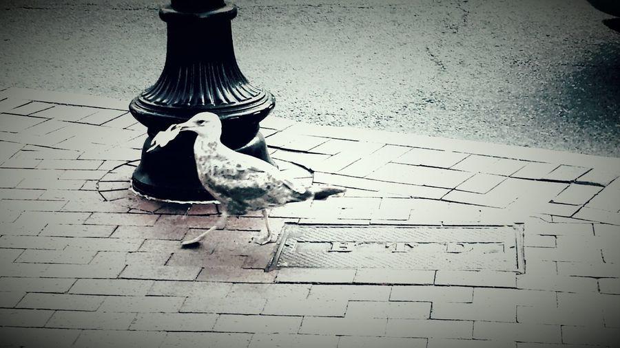 Seagull Walking Street