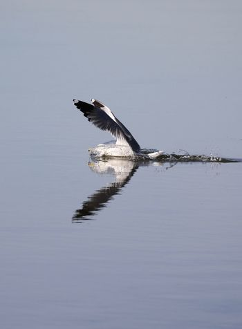 Seagull catching fish Animal Themes Animal Wildlife Animal Animals In The Wild Vertebrate Water One Animal Bird Waterfront Reflection Nature Beauty In Nature