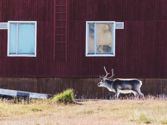 Reindeer in the city One Animal Spitzberg Expedition Nature Reclaims Svalbard  Pyramiden Spitzbergen Arctic Circle Beauty In Nature Built Structure No People Ghost Town Nature Reclaiming The City Animal Wildlife Antler Building Exterior Tranquil Scene (null) Norway Outdoors The Week On EyeEm