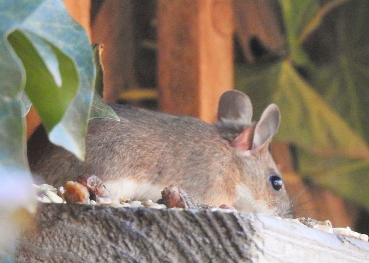 Ein süßer Dieb im Futterhaus. Mammal Animal Wildlife One Animal Animals In The Wild Vertebrate Close-up No People Rodent Nature Day Focus On Foreground Outdoors Leaf Plant Part Tree Whisker Mouse Nature_collection Nature Photography Naturelovers Animal Themes