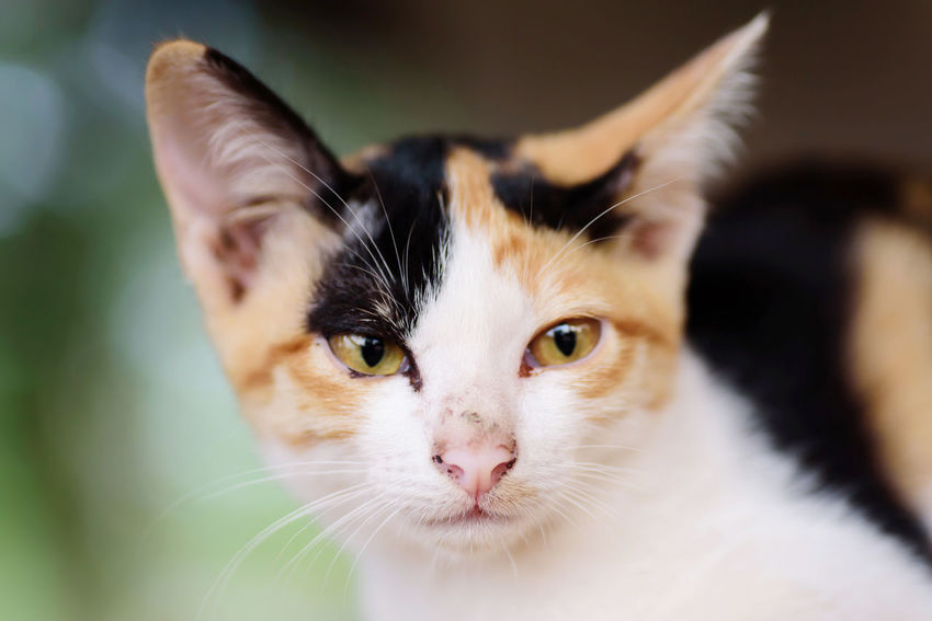 Tricolor cat Cute Cat Thai Cat Animal Animal Body Part Animal Eye Cat Cat Face Close-up Domestic Domestic Animals Domestic Cat Feline Focus On Foreground Indoors  Kitten Looking At Camera Mammal No People One Animal Pets Portrait Tricolor Cat Vertebrate Whisker Yellow Eyes