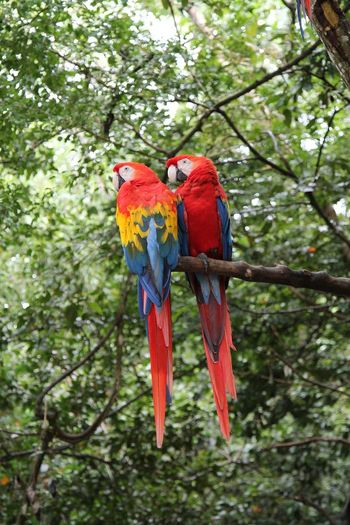 View of macaws perching on branch in forest