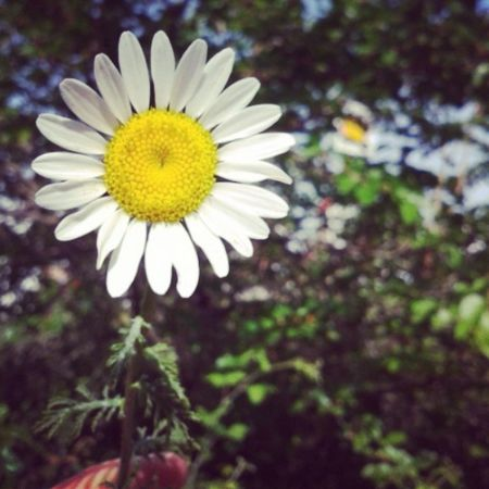 Papatya Flower Huzur...